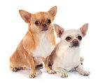 two chihuahua