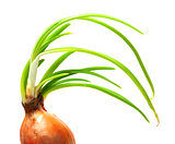Sprouting onion (Allium cepa)