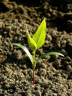 ash-tree seedling