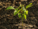 walnut tree seedling