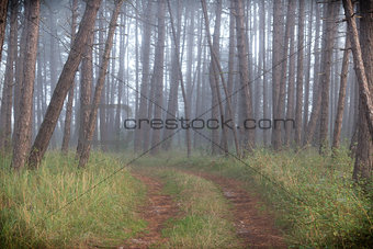Fog in forest