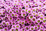 Small purple chrysanthemums as a background