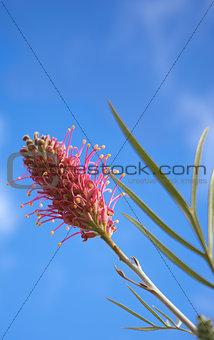 Grevillea species an Australian Wildflower