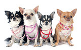 chihuahuas and collar