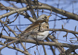 Fieldfare Thrush sitting on a tree branch.