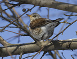 Fieldfare Thrush sitting on a tree branch