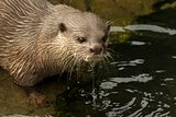 Close-up of dripping wet Asian short-clawed otter