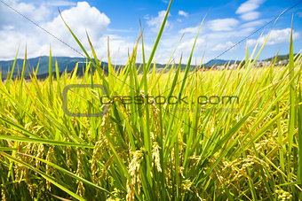 green rice field with sky and cloud background