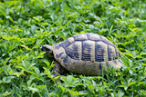 Brown turtle creeps on green grass sunny summer afternoon.