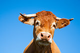 Limousin cow