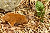 Solitary meerkat in straw