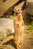 Meerkat standing in a pose