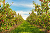Rows of red apple trees