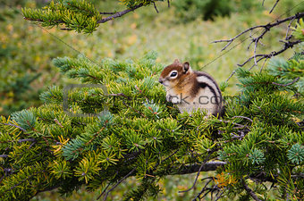 Small chipmunk sitting on a green tree
