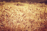 Beautiful wheat field background