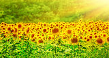 Beautiful sunflowers field