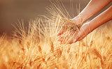 Woman hands touching golden wheat field