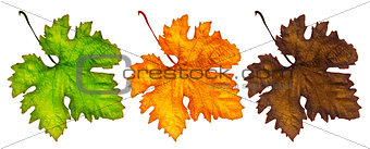 Three different autumn leaves