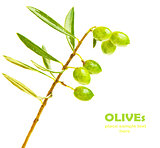 Fresh green olives branch