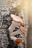 Honey agaric mushrooms.