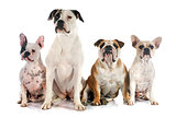 four bulldogs