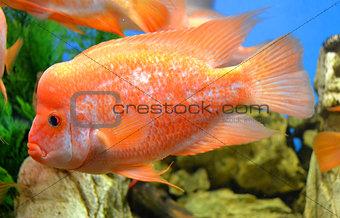 fish Cichlasoma