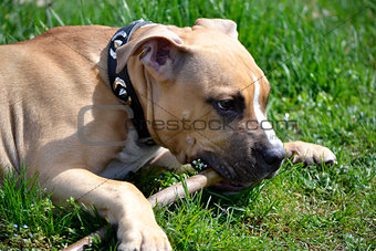 American Staffordshire Terrier playing with a stick