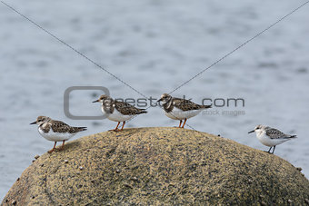 Four Shorebirds on a Rock