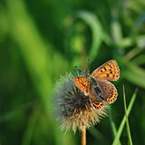 Lycaena tityrus butterfly on green background