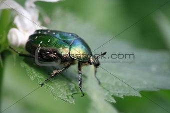 Green Beetle Macro