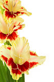 Bright yellow and red gladiolus isolated \ vertical