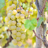 Sweet and tasty white grape