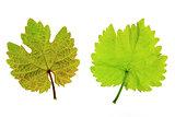 Vine leaves (Vitis vinifera)