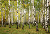 Sunny autumn birch trees
