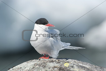 Antarctic tern sitting on a rock.