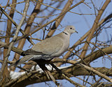 Collared Dove (Streptopelia decaocto)-1.