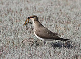 Black-winged pratincole (Glareola nordmanni) -2.