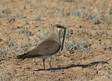 Black-winged pratincole (Glareola nordmanni)-3.