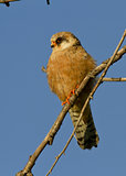 The female Red-footed falcon.