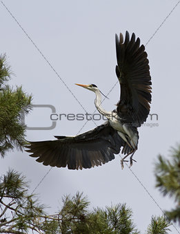 Grey heron comes in to land.