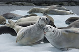 Herd crabeater seals on the ice.