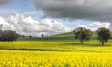 Farming Canolo in Cowra