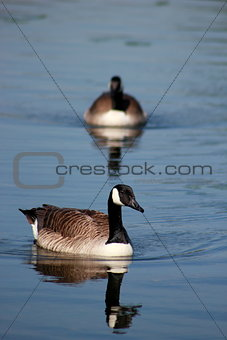 Canada Geese UK
