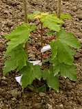 sugar maple sapling