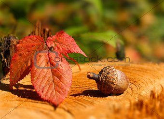 Acorn with red leaf