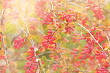 Close up of the barberry - Berberis amurensis.