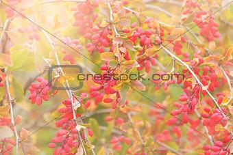 Close up of the barberry - Berberis amurensis.