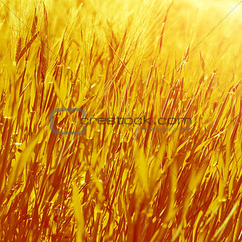 Abstract golden grass background