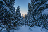 Winter spruce forest with fresh snow