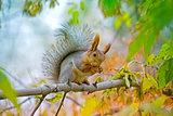 Red euroasian squirrel washes on the maple branch